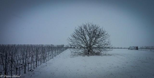 Großer Nussbaum im Winterschlaf