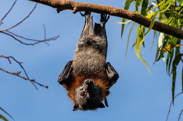 Bats at Parra Park