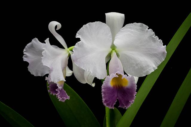 17012021 Cattleya trianae var. coerulea (2)