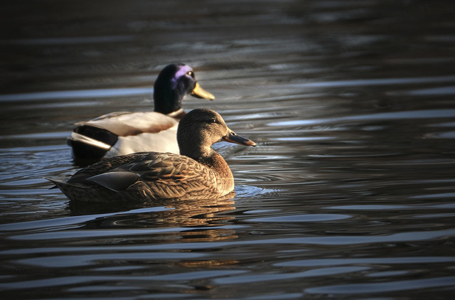 Mallard, Anas platyrhynchos, male and female