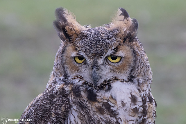 Great horned owl- Falconry Fair Tilburg 2019 - The Netherlands