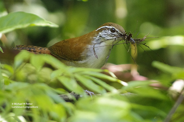 Rufous-and-white Wren with nest material