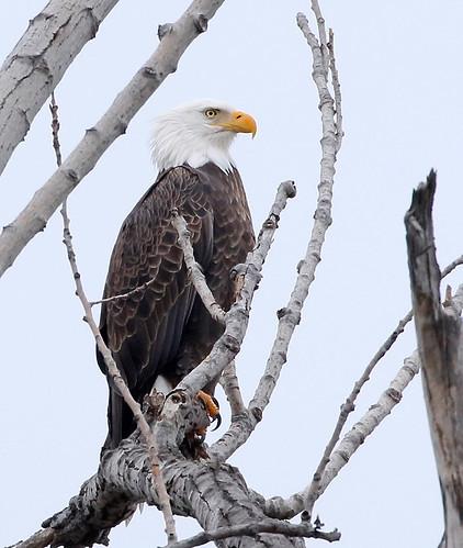Bald Eagle - Long Pond - © Jeanne Verhulst - Jan 10, 2021