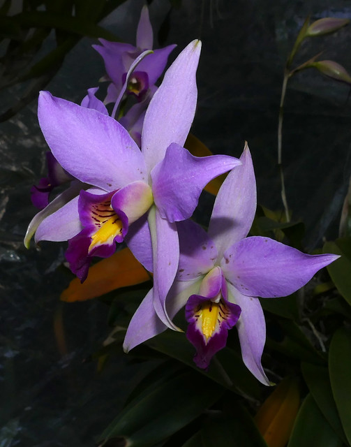 Laelia anceps species orchid 1-21*