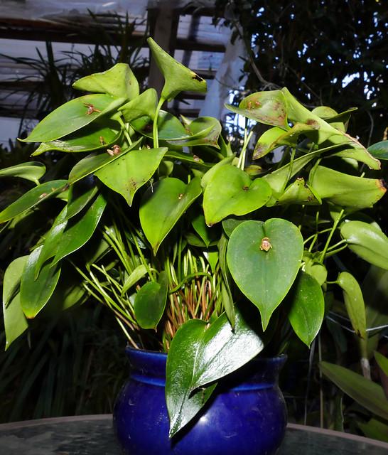Pleurothallis matudana species orchid 12-20
