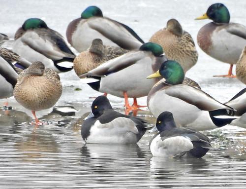 Ring-necked Duck & Mallard - Round Pond - © Candace Giles - Jan 13, 2021