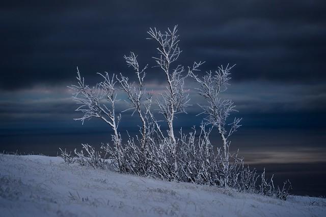 White trees!