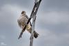 Peregrine Falcon,Wanderfalke,Faucon pelerin,Slechtvalk