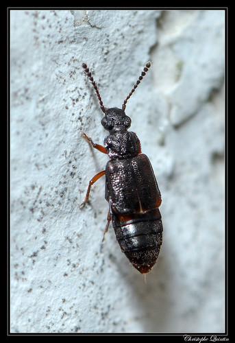 Omaliinae/Anthophagini