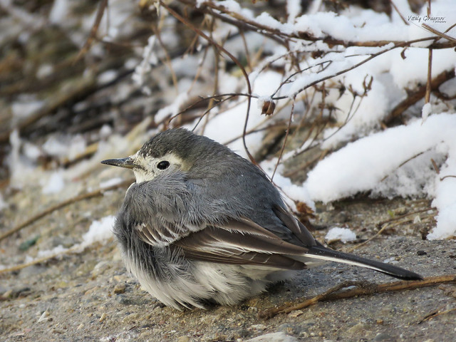 It's cold today. White wagtail.