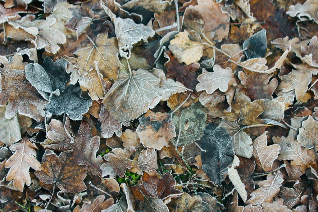Frozen leaves / Fagyott levelek