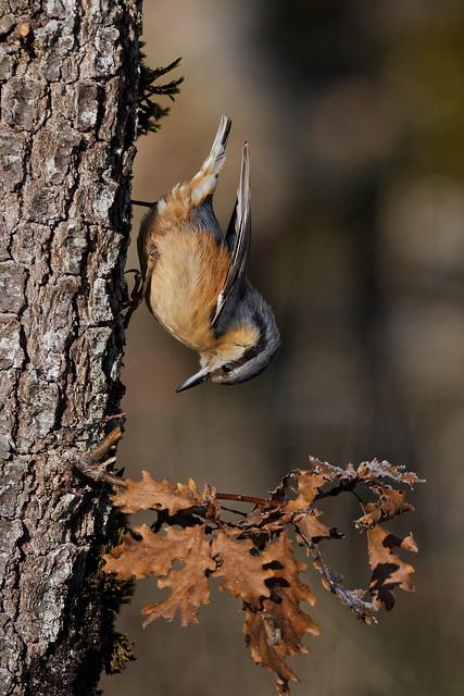 Sittelle torchepot - Sitta europaea - Eurasian Nuthatch - Passériformes - Sittidés