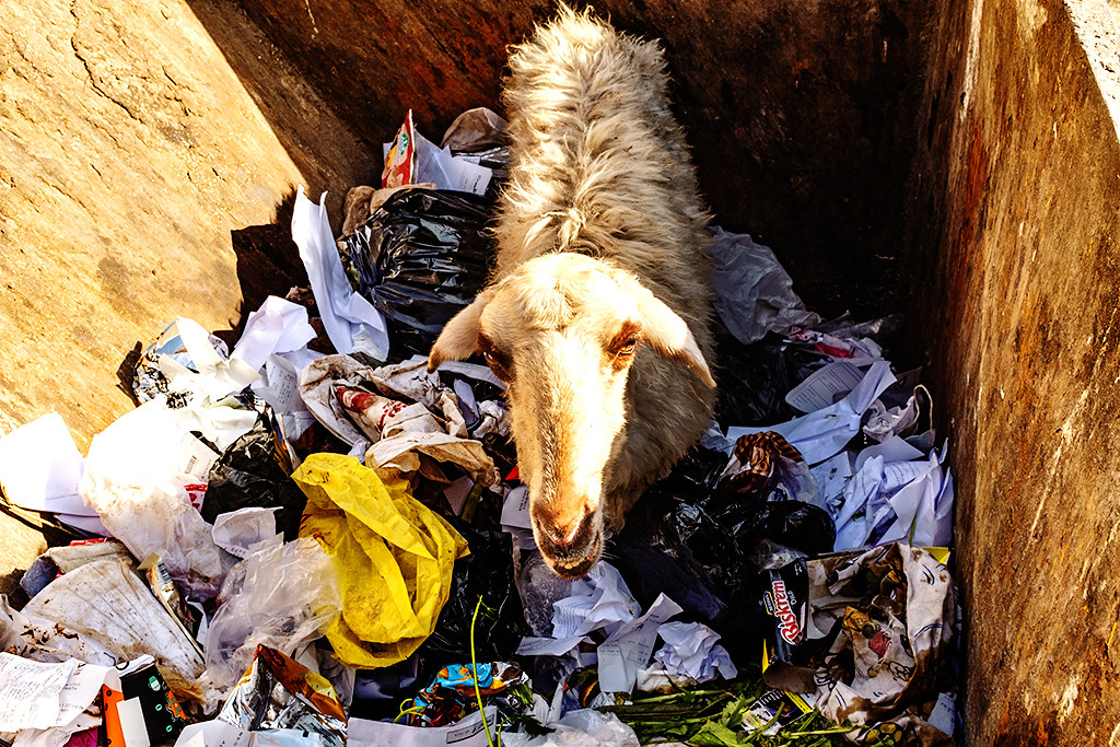 Sheep in dumpster on 1-17-21--Giza