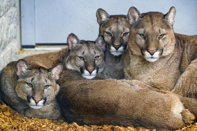 The puma family