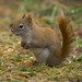 American Red Squirrel | Tamiasciurus hudsonicus