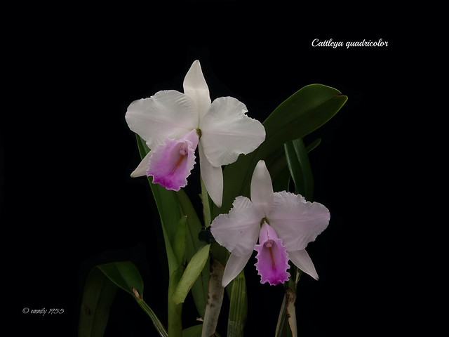 Cattleya quadricolor syn.chocoensis