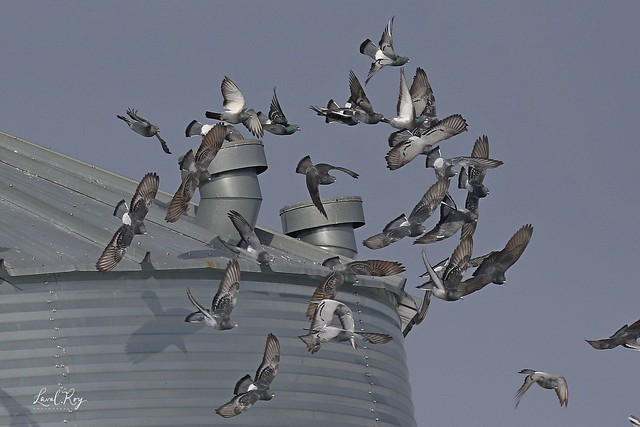 1.04307 Un tourbillon de pigeons /  A pigeon whirlwind