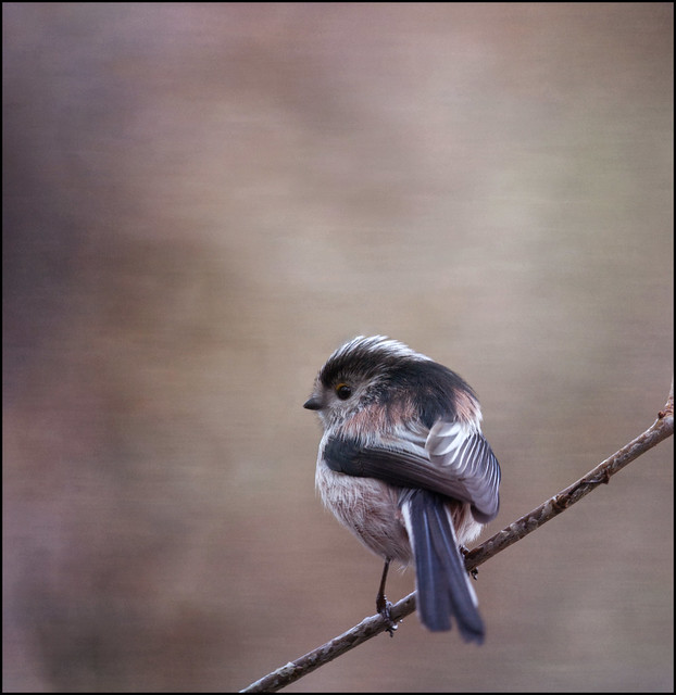 ~ Long-tailed tit ~