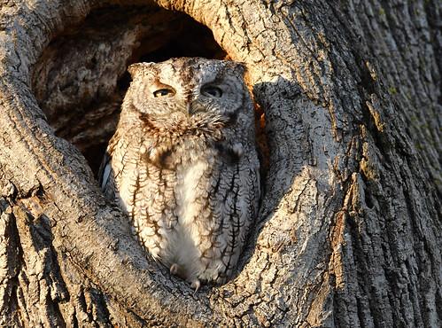 Eastern Screech-Owl - Pittsford - © Alan Bloom - Jan 09, 2021