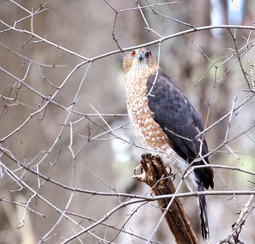 Cooper's Hawk - Brickyard Trail - © Jeanne Verhulst - Jan 11, 2021