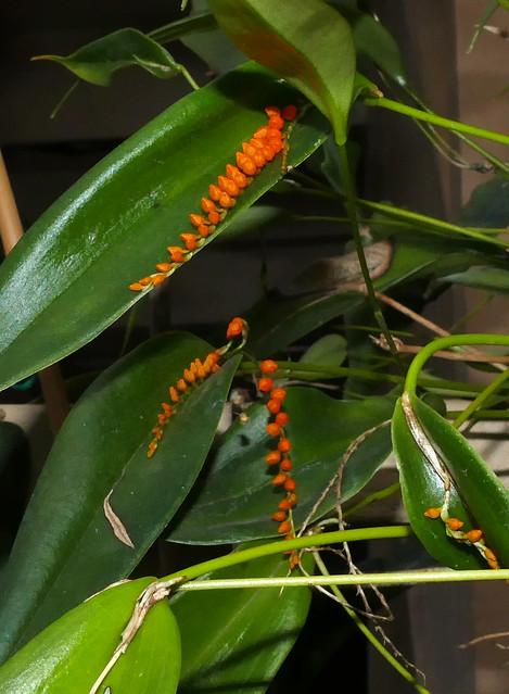 Pleurothallis truncata species orchid 1-21