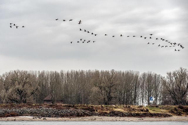 Gänseflug am Rhein