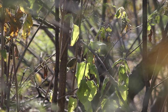 Papamoscas Chico. Empidonax minimus, Sierra de Guadalupe