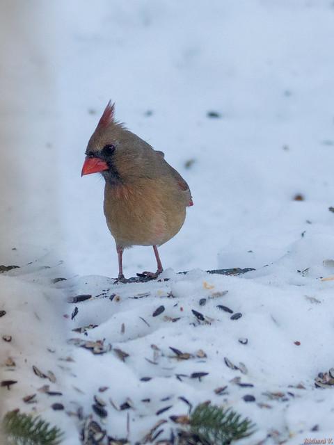 Cardinal rouge femelle - Northern Cardinal - Québec, PQ, Canada - 2361