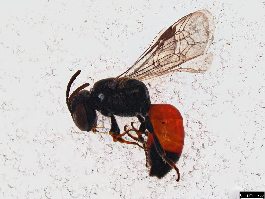 11a - Hylaeus littleri (Cockerell, 1918)