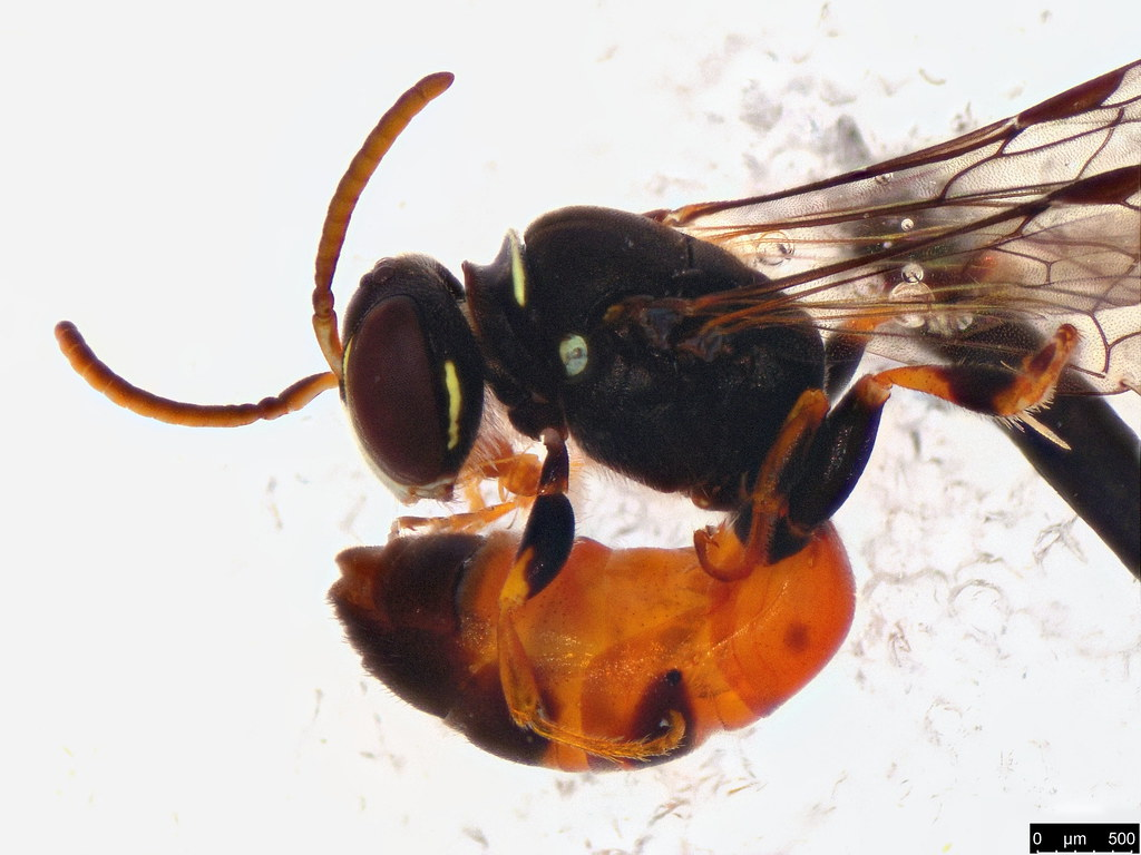 12b - Hylaeus littleri (Cockerell, 1918)