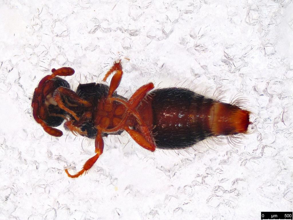 14b - Thynninae sp.