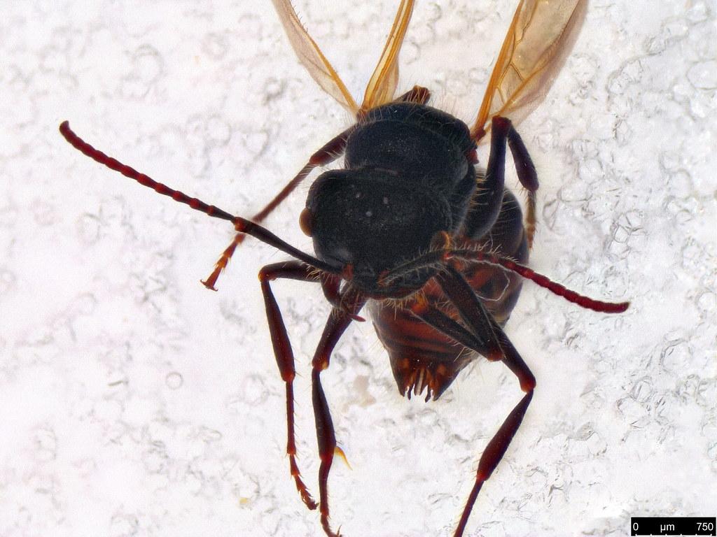 18b - Mutillidae sp.