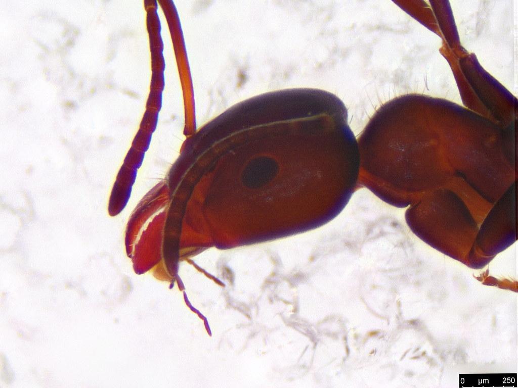 26b - Formicidae sp.