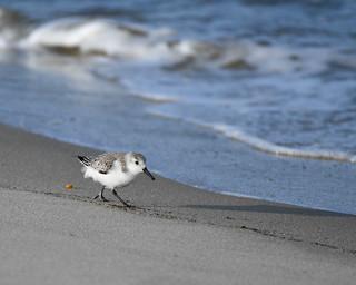 Sanderling foraging