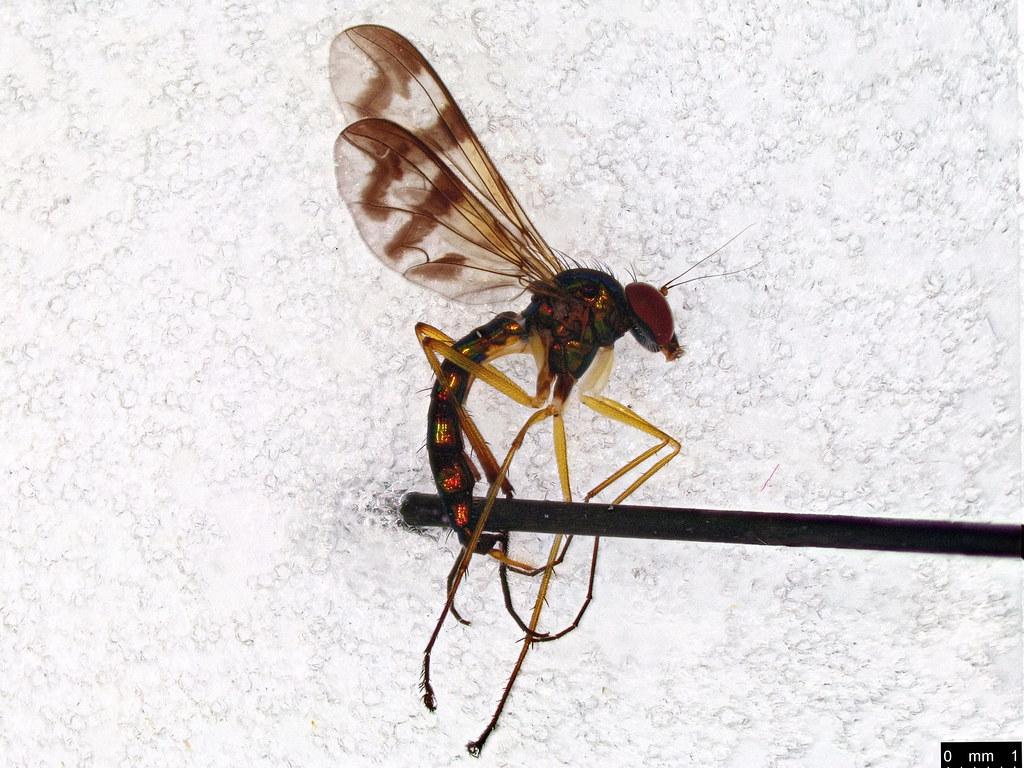 34 - Dolichopodidae sp.