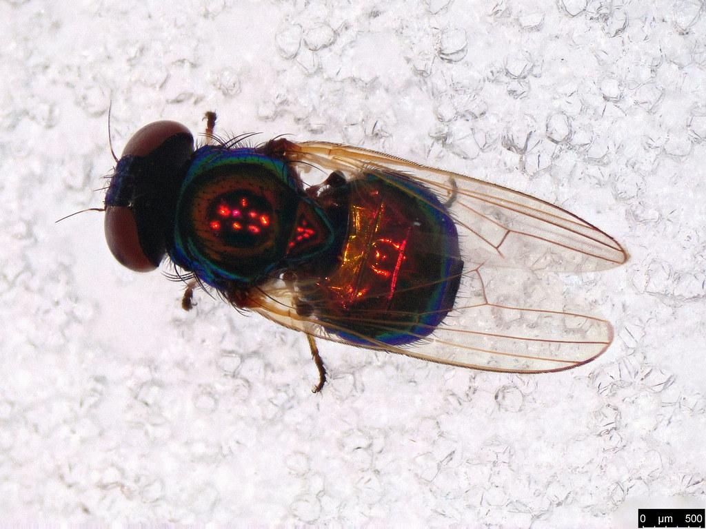 37a - Diptera sp.