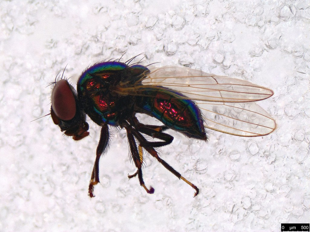 37b - Diptera sp.