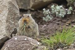 Sloggett's Ice Rat - Lesotho