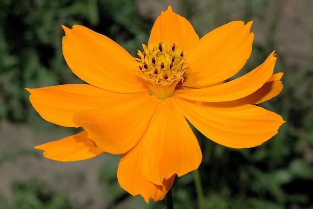 Cosmos sulphureus  E-U du Sud - Mexique Nord
