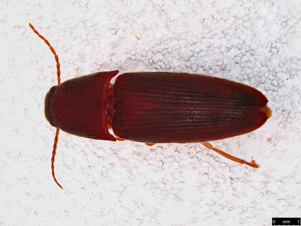 43a - Elateridae sp.