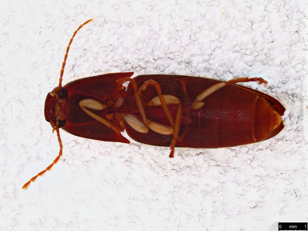 43b - Elateridae sp.