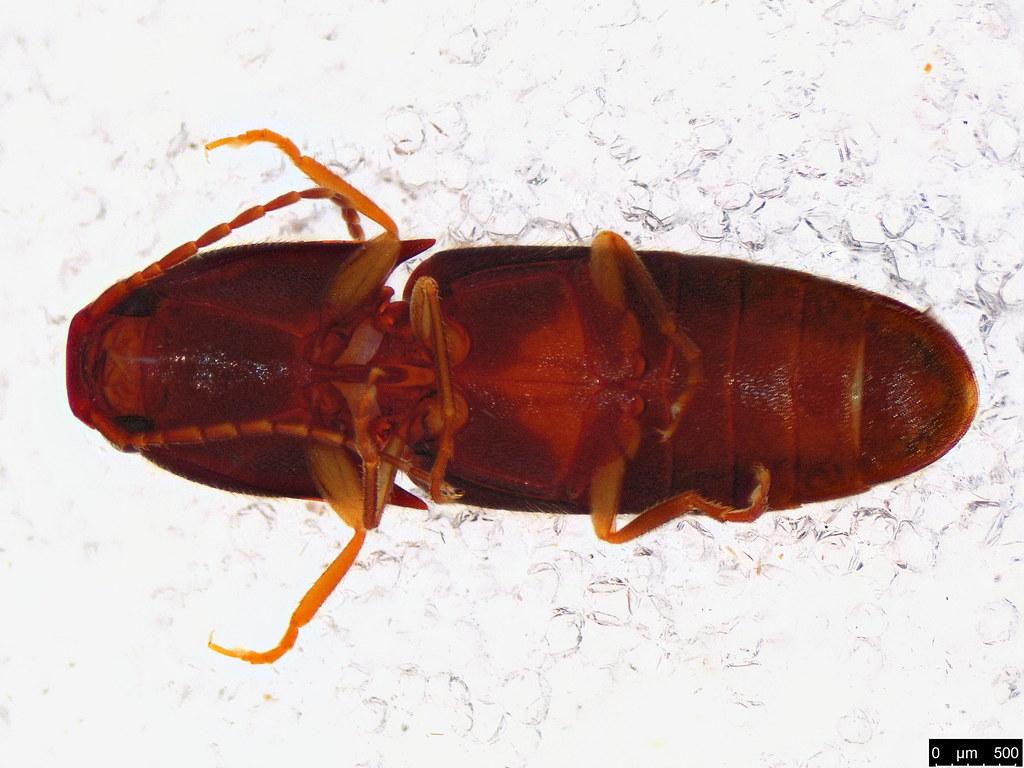 44b - Elateridae sp.
