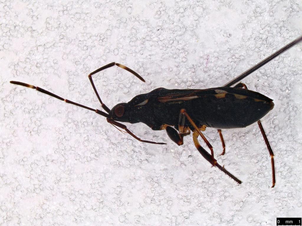 54b - Coreoidea sp.
