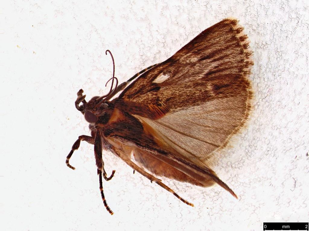 64a - Nyctereutica sp.
