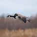 Canada Goose | Gliding