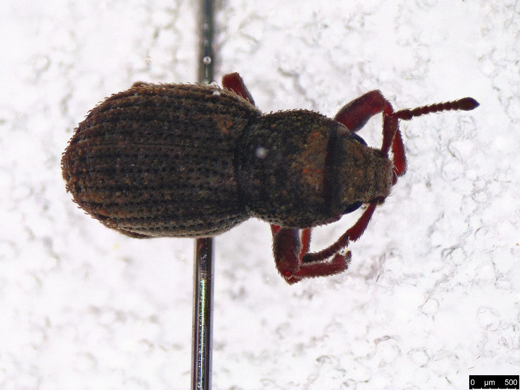 42b - Entiminae sp.