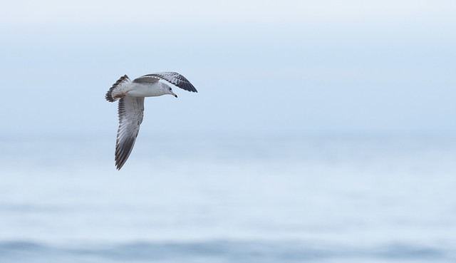 Gull Over the Pacific