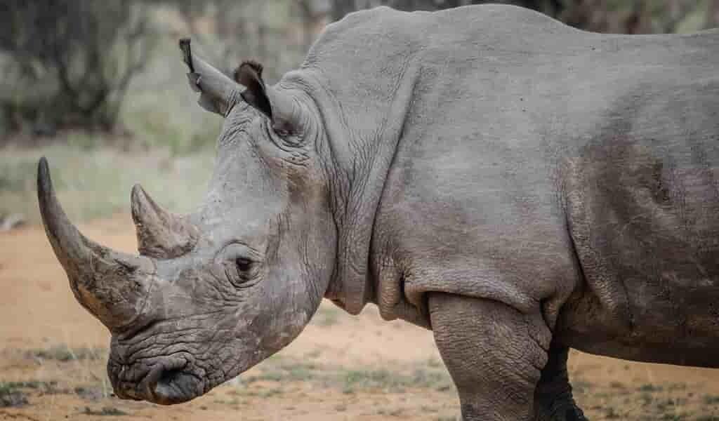 des-embryons-seront-implantés-dans-les-derniers-rhinocéros-blancs