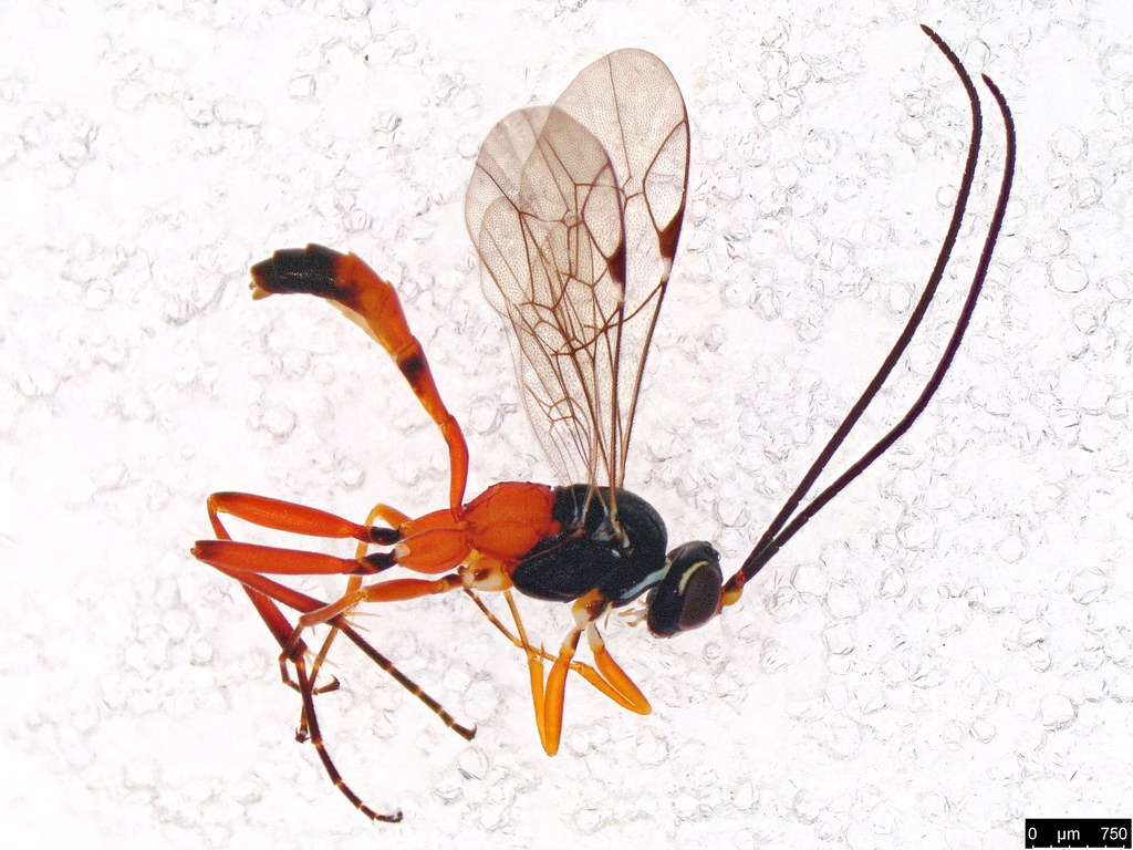 5 - Ichneumonidae sp.