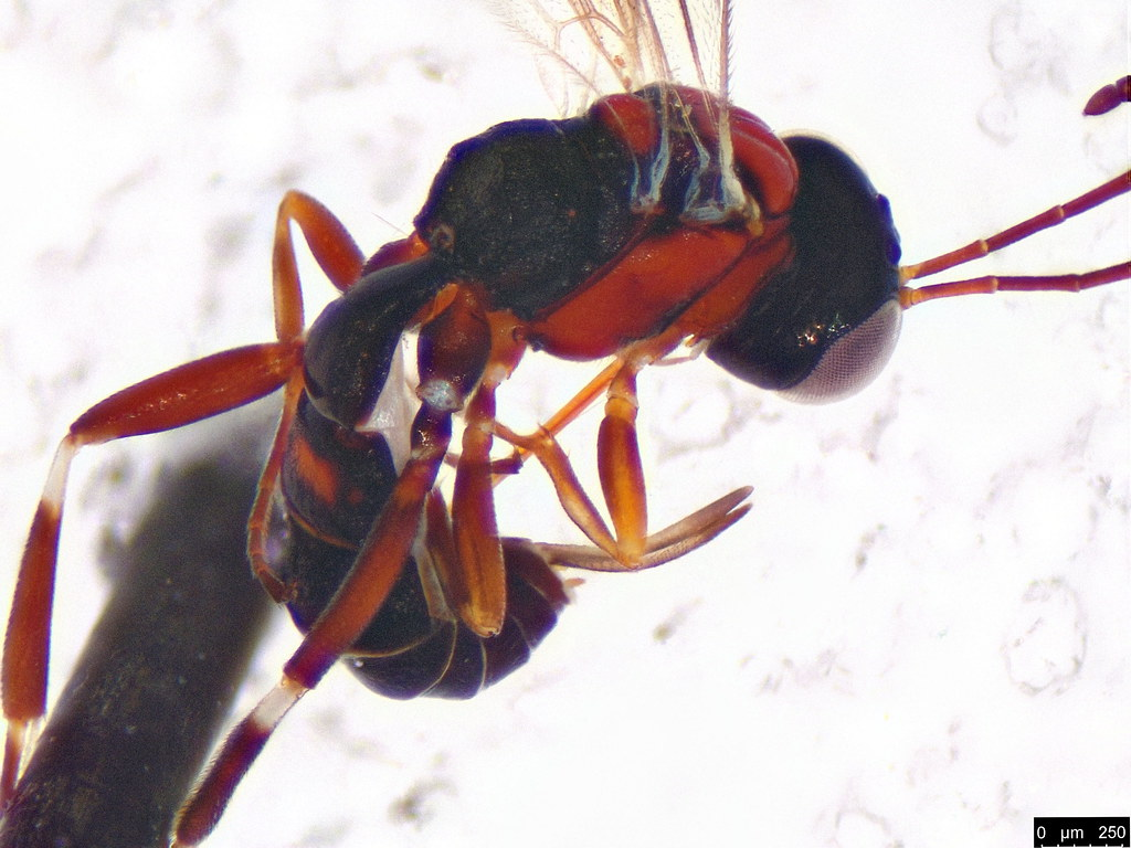 6b - Ichneumonoidea sp.